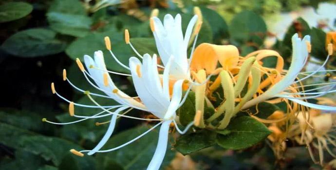 这种花对感冒和上火有奇效,只用来观赏你就亏大了!
